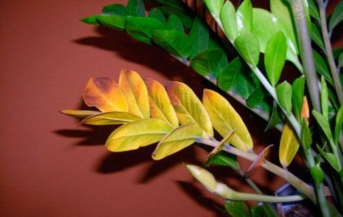 Желтеют листья у долларового дерева