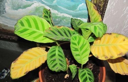 желтеют листья у калатеи