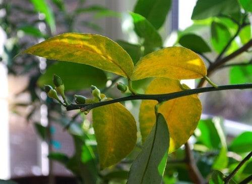 желтеют листья у лимона