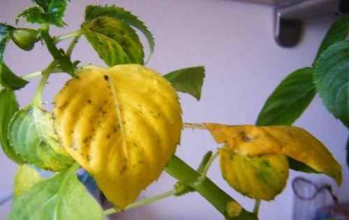 Желтые листья бальзамина