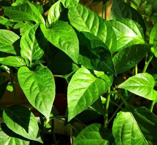 Листья перца